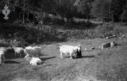 Geiter på Lieng 1946 - #KvH 06-068 b