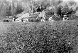 Buskapen på Nordistog Haukom i 50 åra - #KvH 06-080 b