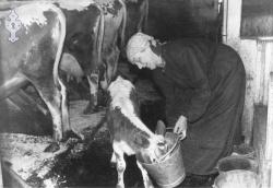 Anne Husås gjev kalven drikke - #KvH 06-020 b